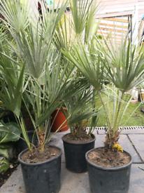 chamaerops humilis palm trees 2-3ft