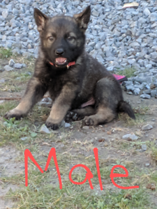 Purebred sable German Shepherd puppies