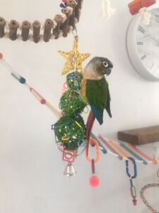 Perroquet Conure yellowside femelle