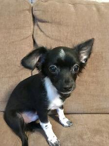 Magnifique bébé chihuahua mâle, très bon caractère (chiot)