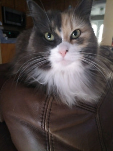 Lost Cat in Timberlea, Royal Oaks: calico
