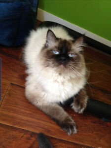 5 yr old Intact Male Seal Point Ragdoll with Blue eyes