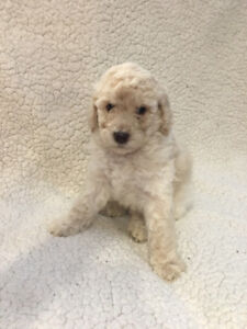 Small Standard Poodle Puppies