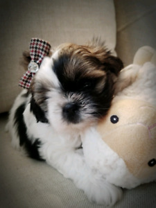 ♡Adorable Little Shihtzu♡