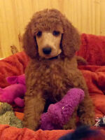 RED STANDARD POODLE PUPS