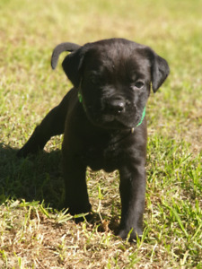 Cane Corso Dogs Puppies Gumtree Australia Free Local Classifieds
