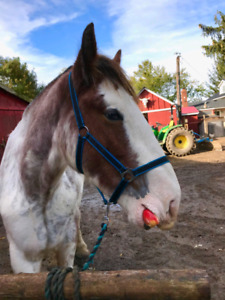 Clydesdale Gelding for Part Board