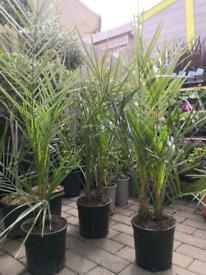 Phoenix canary palm tree