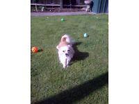 Chihuahua male pedigree **BARGIN**