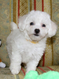 Homes For Sale In Guelph Ontario >> Bichon Frise Puppies | Kijiji: Free Classifieds in Ontario ...