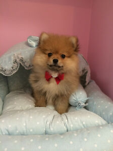 purebred pomeranian puppies pomeranian adopt local dogs puppies in toronto gta 5474