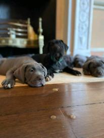 Puppies girls london Cane corso