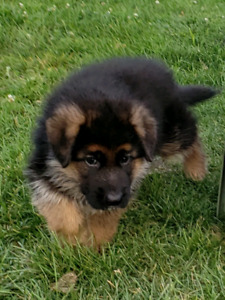 Adopt Dogs & Puppies Locally in St  Catharines | Pets