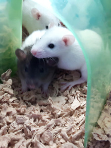 Fancy Rats to a Great Home