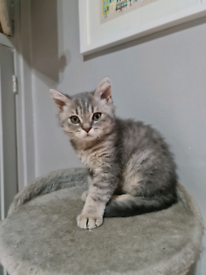 Beautiful Selkirk Rex Kittens