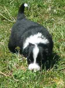 Registered Border Collie Pups