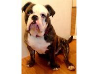 Old tyme bulldog 8 month old with papers stunning house trained