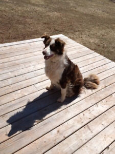 Border Collie to be re-homed