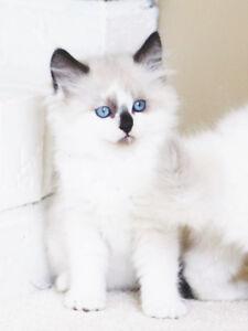 Friendly Ragdoll kittens for adoption