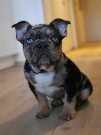 French Bulldog puppy 4 months old