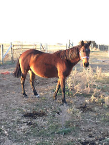 *reduced* 9 Year Old Bay Mare $400 OBO!
