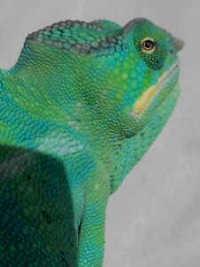 Nosy Be Panther Chameleons *Available Soon
