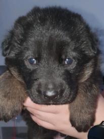 German shepherd strong bloodline puppies