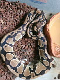 Royal/Ball Pythons REDUCED PRICES