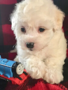 Maltese / Poodle pups - Tiny Toy Size