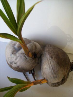 2 Yellow Coconut Palm Tree Exotic Palm Miami Yellow Coconut Sprouted Tree Live