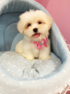 Doll Face Malshi & ShihTzu puppies for sale-Non shedding