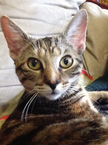 Evey - Lost Female Cat - Brown Tabby Shorthair