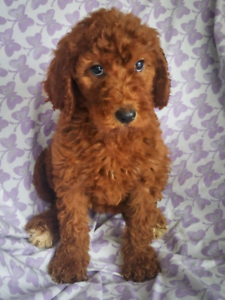 Goldendoodle | Kijiji in Ontario  - Buy, Sell & Save with