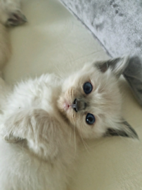 Ragdoll kittens males and females