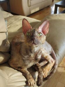 chattes retraites rex cornish