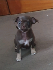 Ready now rare lilac and chocolate chihuahua puppies