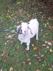 Meat goat for sale