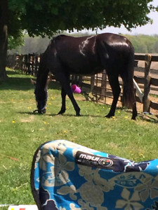 Beautiful Black QH mare - all around prospect - broke