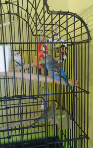 6 Budgies for Sale together 3 boys & 3 girls