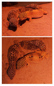 Leopard geckos, tank, and accessories