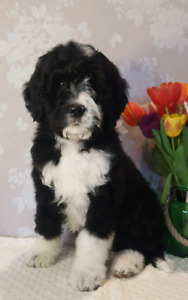 Tuxedo Bernedoodle Puppy for sale