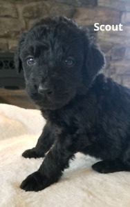 Stunning and Friendly Bernedoodles Babies