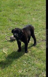 Boarder collie Mix Puppy