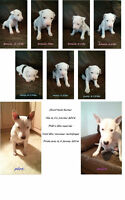 Chiots bull terrier