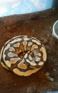 Adult female butter belly ball python for sale