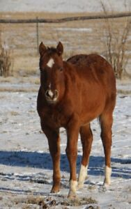 AQHA Filly King Fritz x Caught Me Lookin bred