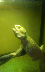 Dino the Bearded Dragon + 4 ft Long Enclosure + Accessories