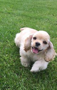 Stunningly Adorable CKC  American Cocker Spaniel Puppy