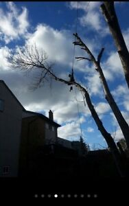 Ash tree removal ! Dangerous trees ? Call etree Oakville / Halton Region Toronto (GTA) image 1