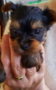 Pretty Teacup Morkie puppies